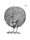 Peacock Displaying 1650 Giclee Print by John Johnstone