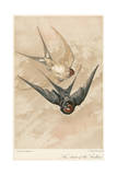 Two Swallows Giclee Print by J Giacomelli