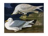 White-Winged Silvery Gull Reproduction procédé giclée par John James Audubon