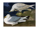 White-Winged Silvery Gull Giclee Print by John James Audubon