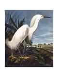 Aigrette Impression giclée par John James Audubon
