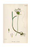 Plants, Allium Vineale Giclee Print by John Edward Sowerby