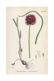 Allium-Round Head Garlic Giclee Print by John Edward Sowerby