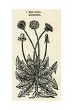 Taraxacum Officinale Giclee Print by John Gerard