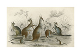 Kangaroos Various 19C Giclee Print by JS Murdoch