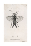 Earwig Giclee Print by M. Griffiths