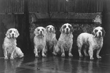 Fall, Clumber Spaniel, 36 Photographic Print by Thomas Fall