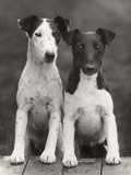 Smooth Fox Terriers Photographic Print by Thomas Fall
