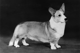 Champion Kentwood Elwyn - Corgi Photographic Print by Thomas Fall