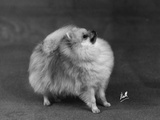 Fall, Pomeranian, 1948 Photographic Print by Thomas Fall
