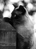 Inquisitive Siamese Photographic Print by Thomas Fall