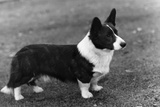Corgi - Ch Kentwood Cymro Photographic Print by Thomas Fall