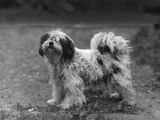 Fall, Tibetan Terriers, 47 Photographic Print by Thomas Fall