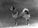 Fall, Finnish Spitz, 1935 Photographic Print by Thomas Fall