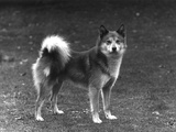 Fall, Finnish Spitz, 1936 Photographic Print by Thomas Fall