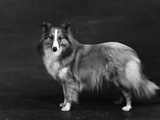 Hallinwood Golden Fetter, Shetland Sheepdog Photographic Print by Thomas Fall