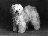 Fall, Tibetan Terrier, 39 Photographic Print by Thomas Fall