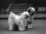 Fall, Tibetan Terrier, 37 Photographic Print by Thomas Fall