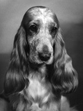 Fall, Cocker Spaniel, 1968 Photographic Print by Thomas Fall