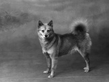Fall, Finnish Spitz, 1934 Photographic Print by Thomas Fall