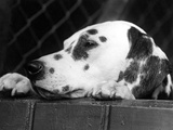Dalmatian, Head Only, 1934 Photographic Print by Thomas Fall