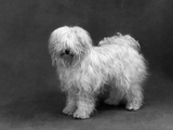 Fall, Tibetan Terrier, 59 Photographic Print by Thomas Fall