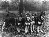 German Shepherd Dogs Photographic Print by Thomas Fall