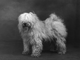 Fall, Tibetan Terriers, 51 Photographic Print by Thomas Fall