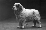 Fall, Clumber Spaniels, 29 Photographic Print by Thomas Fall