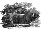 Bewick - Musk Ox Photographic Print by Thomas Bewick