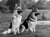 Fall, Crufts, 2 Champions Photographic Print by Thomas Fall