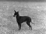 English Toy Terrier - Fall Photographic Print by Thomas Fall
