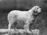 Fall, Clumber Spaniels, 27 Photographic Print by Thomas Fall