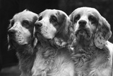 Clumber Spaniels Photographic Print by Thomas Fall
