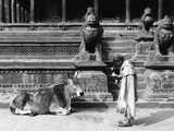 Sacred Cow, Nepal Stampa fotografica di Valentine Evans