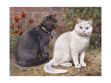 Blue, White Shorthairs Giclee Print by W. Luker