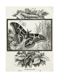 The Silkworm Moth of India Giclee Print by W.A. Cranston