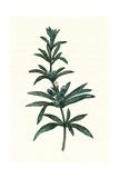Rosmarinus Officinalis Giclee Print