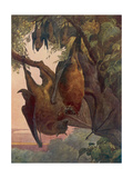 Indian Flying Foxes, Bats Premium Giclee Print by Winifred Austen