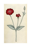 Agrostemma Coronaria Giclee Print by William Curtis