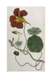 Plants, Tropaeolum Majus Giclee Print by William Curtis