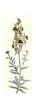 Antirrhinum Triste Giclee Print by William Curtis