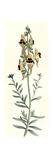Antirrhinum Triste Giclee Print by William Curtis