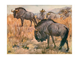 Gnu Black Tail 1909 Giclee Print by Winifred Austen