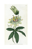 Passiflora Caerulea Giclee Print by William Curtis