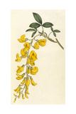 Plants, Cytisus Laburnum Giclee Print by William Curtis