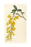 Plants, Cytisus Laburnum Giclee Print by William Curtis