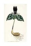 Plants, Trillium Cuneatum Giclee Print by William Curtis