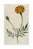 Plants, Tagetes Patula Giclee Print by William Curtis