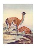 Llama, Guanaco 1909 Giclee Print by Winifred Austen